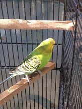 Male Budgie Queens Park Canning Area Preview