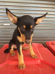 Pure bred kelpie pups Medowie Port Stephens Area Preview