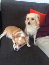 Pomeranian x Chihuahua Redbank Plains Ipswich City Preview