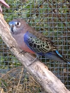 Gorgeous male Bourke Parrot Windsor Hawkesbury Area Preview