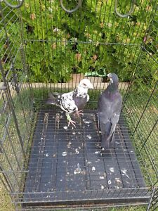 Pigeons for sale Dandenong Greater Dandenong Preview