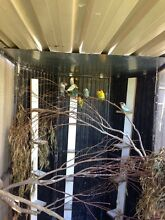 Colony of black mask lover birds Cabramatta West Fairfield Area Preview