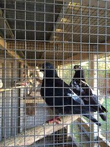 Breeding pair of King pigeons Whalan Blacktown Area Preview