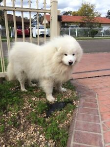 Lovely Samoyed Hebersham Blacktown Area Preview