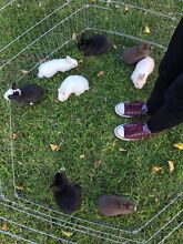 Netherland dwarf bunnies assorted colours and sexes Caroline Springs Melton Area Preview