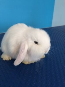 BEW mini lop Parkdale Kingston Area Preview