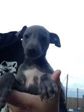Whippet Puppy St Albans Brimbank Area Preview