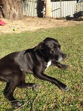 Bear 5 years old, mixed breed male Shoalwater Rockingham Area Preview
