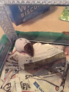 Baby pet rats Camillo Armadale Area Preview