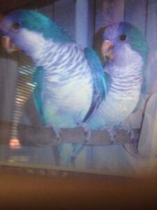 Breeding pair of bonded Quakers. Carrum Downs Frankston Area Preview