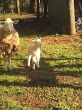 Sheep & Lamb For Sale Whittlesea Whittlesea Area Preview