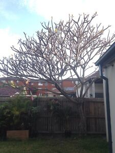Big Beautiful Pink Frangipani Tree Botany Botany Bay Area Preview