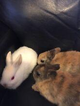 Netherland dwarf bunny rabbits Tullamarine Hume Area Preview