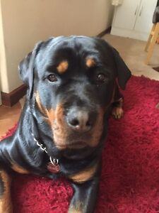 Pure breed Rottweiler Cannington Canning Area Preview