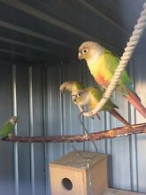 Proven cinnamon conure pair Glenroy Moreland Area Preview