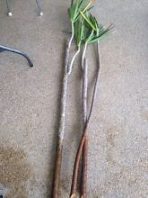 3 large dracaena cane cuttings Lee Point Darwin City Preview