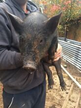 Baby pigs for Sale 2 girls Perth Airport Belmont Area Preview