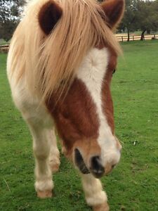 Pinto Shetland pony for sale or lease. Wungong Armadale Area Preview