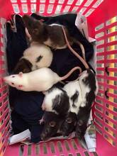 8 week old hooded and PEW male rats Georges Hall Bankstown Area Preview