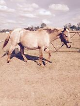 Palomino appaloosa Appin Wollondilly Area Preview