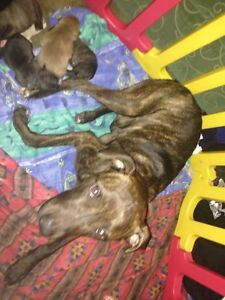 For Sale 5 American staffy pups. Caboolture Caboolture Area Preview