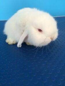 REW mini lop Parkdale Kingston Area Preview