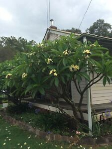 Frangipani tree East Kurrajong Hawkesbury Area Preview