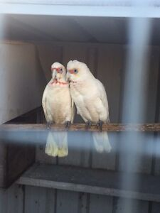 Pair long billed corellas for sale Punchbowl Canterbury Area Preview