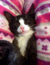 Rescue Cats and Kittens-Hunter Valley Cat Haven Kurri Kurri Cessnock Area Preview