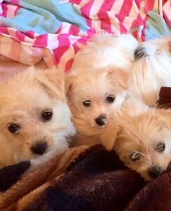 Maltese terrier Puppy's Bellambi Wollongong Area Preview