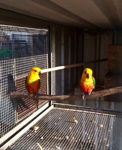 Beautiful Pair of Janday Conures The Oaks Wollondilly Area Preview