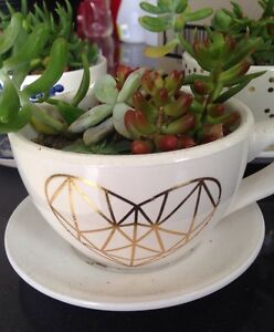 Teacup Succulent gardens SO CUTE today only $5 Norwood Launceston Area Preview
