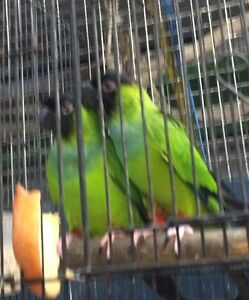 Nanday Conures Breeding Pair Ramsgate Rockdale Area Preview