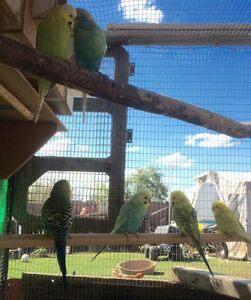 Breeding Budgies The Oaks Wollondilly Area Preview