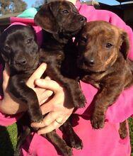 Blue staffy cross dachshund pups Finley Berrigan Area Preview