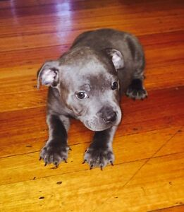 Blue boy English Staffy pups. Hoppers Crossing Wyndham Area Preview