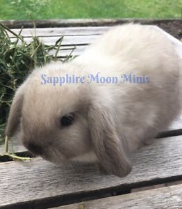 Beautiful baby mini lop bunnies - experienced, knowledgable breeder Frenchs Forest Warringah Area Preview
