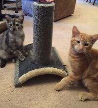 URGENT URGENT RESCUED FRIENDLY SIBLINGS LEO AND CLOUD Riverwood Canterbury Area Preview