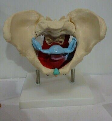 Juvale Pelvis Model On Base Anatomical Pvc Female Pelvis Skeleton Model