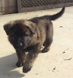 German shepherd pups with papers Lowood Somerset Area Preview