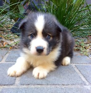 Beautiful fluffy Sibe Puppy Kellyville Ridge Blacktown Area Preview