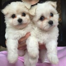Gorgeous Maltese x Pomeranian puppies 7 weeks ready now! Beerwah Caloundra Area Preview