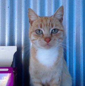 Rescue cat-Hunter Valley Cat Haven Kurri Kurri Cessnock Area Preview