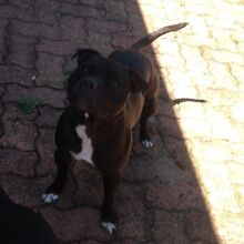 Staffordshire bullterrier puppy Dudley Lake Macquarie Area Preview