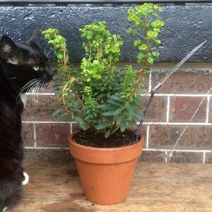 NEW Terracotta Pots w/ Established Euphorbia Rudolph Flowering Plants North Melbourne Melbourne City Preview
