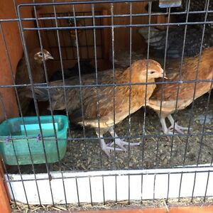 Young pullets.. female chickens chooks Joyner Pine Rivers Area Preview