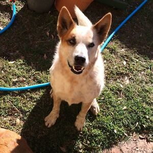 Giveaway male desexed cattle dog Eastern Heights Ipswich City Preview