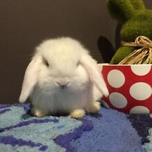 Purebred Mini lop baby (Blue eyed white) Kings Park Brimbank Area Preview