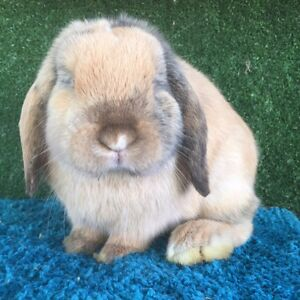 Purebred Mini lop males/bucks (reduction stud) Kings Park Brimbank Area Preview