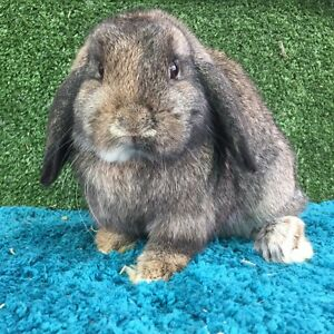 Purebred Mini lop girls/does (stud reduction) Kings Park Brimbank Area Preview
